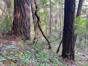 Unit 80 Bear Country Timber Sale